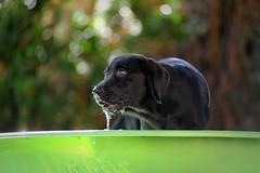 Bichou (uwe.kast) Tags: labrador labradorretriever labradorredriver welpe puppy dog hund nikon nikond3 d3