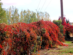 Back yard color (pegbent) Tags: autumncolors vines fenceline red october 2016 kennewick washington olympussp100 psp