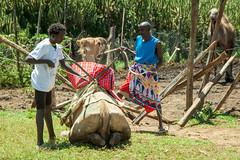 Maralal Camel Derby (25 of 93) (weldonwk) Tags: kenya camel deby maralal