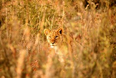 South Africa (ClaDae) Tags: wildlife animal lion male cub madikwe southafrica africa nature free