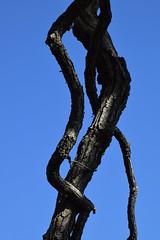 Oak Abstract (pchgorman) Tags: pleasantvalleyconservancy danecounty wisconsin prairies savannahs september trees abstracts oaks quercus