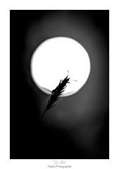 Pour toi, je dcrocherais la lune (Naska Photographie) Tags: naska photographie photo photographe paysage proxy proxyphoto papillon butterfly butterflie macro macrophotographie macrophoto nature black white noir et blanc nb monochrome lune moon ombre chinoise