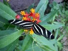 Hortus Botanicus-10 (Quetzalcoatl002) Tags: hortusbotanicus vlindertuin butterflies amsterdam vlinders butterflygarden closeup