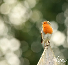 oh what a beautiful morning... (~ **Barbara ** ~) Tags: robin robins erithacusrubecula red breast garden uk home autumn cold worms digging canon7dii