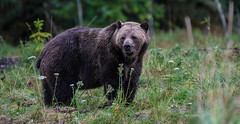 getting into shape for the winter !!! (wesleybarr1962) Tags: grizzly bear grizzlybear