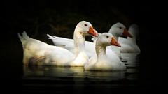 Obcurit (Yasmine Hens) Tags: canard birds obscurit hensyasmine namur belgium wallonie europa aaa  belgique blgica    belgio  belgia   bel be