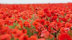 Field of Red (Future-Echoes) Tags: 2016 canon red poppy poppies dof depthoffield bokeh field cambridgeshire nature flowers