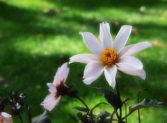 Dahlias (Bubash) Tags: dahlia flower blooms soft filter fall dof green grass expiramenting post processing