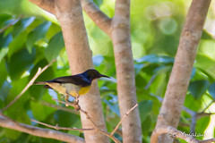 Kingfisher_Park-155.jpg (cymalay) Tags: palawan2016 sunbird