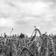 Poppies (Wouter de Bruijn) Tags: hasselblad 500cm zeiss planar 80mm ilford xp2 ilfordxp2 ilfordxp2super film filmphotography filmisnotdead analog analogphotography mediumformat mediumformatfilm squareformat square 6x6 120 120film blackandwhite blackwhite bnw bw monochrome blackandwhitefilm blackandwhitephotography poppy poppies nature outdoor wheatfield grain cereal crop farming flower flowers depthoffield