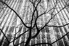 Urban forest (Daren N.) Tags: tree royal bank plaza office tower toronto branches silhouette skyscraper windows