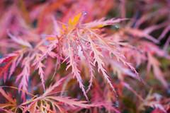 Red bush leaves (alastc) Tags: trees westonbirt england unitedkingdom gb