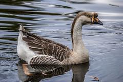Anser cygnoides (Swan Goose / Ganso-cisne) (PriscillaBurcher) Tags: ansercygnoides swangoose gansocisne nsarcisne cisnal goose ganso dsc0335