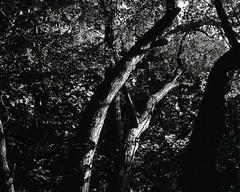 20020926_IMG_0002_trm_mod (NAMARA EXPRESS) Tags: landscape tree mountain north fine outdoor monochrome blackandwhite maruyama sapporo hokkaido japan film agfa scala 200x plaubel makina67 makina nikkor 80mm f28 canon canoscan 9000f scanner scan namaraexp