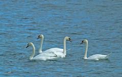 Cygnes tuberculs / Mute Swans (alain.maire) Tags: bird anatidae cygnusolor cygnetubercul muteswan nature quebec canada saintlawrenceriver fleuvesaintlaurent