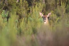regard de biche. (poun'ish) Tags: biche cervid fort sauvage nature libre deer wildlife