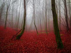 (Nikola Ostrun) Tags: tree trees forest fall autumn autumncolors red orange fog foggy nature outdoor