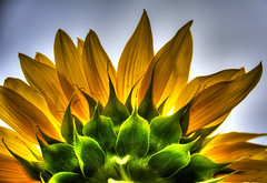 Sunflower2 (riclane) Tags: flower sunflower backlit light