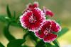 Dianthus Chinensis (Rodrigo Neves) Tags: flor flower macro closeup nature natureza garden gardening canon eos 350d helios helios44 44m4 58mm russian manualfocus m42