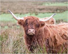 Highland girl (hisdream) Tags: highlandcattle horns cow yorkshiremoors