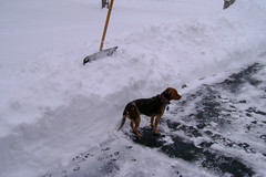 Taller than a Beagle (Lunken Spotter) Tags: winter columbus ohio dog pet pets snow cold ice beagle dogs frozen frost snowy freezing canine freeze oh icy wintertime snowfall blizzard shovels beagles shoveling snowshovel wintry blizzards canis froze franklincounty centralohio