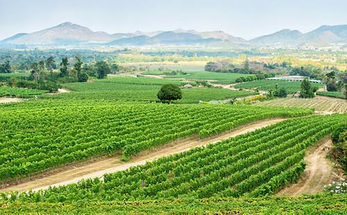 Hua Hin Hills vineyards, Thailand