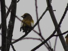 Evening Grosbeak (cheasepeake) Tags: birds wildlife birding songbird birdshare dailynaturetnc12