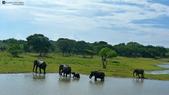 Elephant herd at Yala national park sri lanka