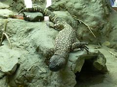Skorpion-Krustenechse (Heloderma horridum) P1610326 (martinfritzlar) Tags: opelzoo zoo kronberg tiere reptilien krustenechse heloderma tier reptil skorpionkrustenechse helodermatidae helodermahorridum reptile lizard beadedlizard mexicanbeadedlizard