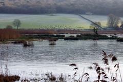 Frozen Leighton Moss RSPB, Teal in Background (Gidzy) Tags: uk winter england english ice water reeds frozen europe frost december european britain teal sony ducks frosty lancashire british northwestern northern mere thenorth silverdale reedbed 2014 rspb leightonmoss