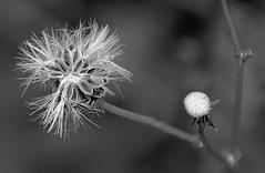 Living Star (C.Holtzhausen) Tags: flowers plants macro nature monochrome closeup southafrica small grassland