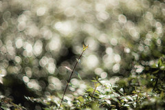 Afternoon Delight (moaan) Tags: light sunlight plant japan dof m kobe jp utata boke hyogo standout 2015 leicamp leicam circleofconfusion bokehballs type240 leicasummarex85mmf15 ernestleitzwetzlarsummarexf85cm