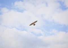 Peregrine Falcon Wingspan Peregrine Falcon Over Tompkins
