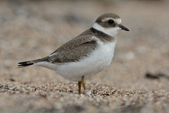 Up To The Knees. (stonefaction) Tags: scotland birds nature wildlife ringed plover westhaven carnoustie angus