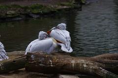 Zoologischer Garten Berlin, some birdy (sandglass2013) Tags: berlin pelican garten 200mm zoologischer zoologischergartenberlin