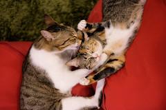 Musashi Hiyori (rampx) Tags: cat fujifilm neko 猫 ねこ musashi miaw hiyori xt1