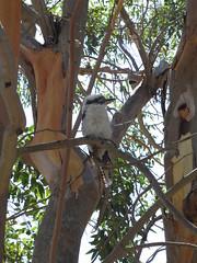 """Oiseau qui chante comme un singe ! <a style=""""margin-left:10px; font-size:0.8em;"""" href=""""http://www.flickr.com/photos/83080376@N03/16374306302/"""" target=""""_blank"""">@flickr</a>"""