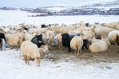 DSC01461 (ekremenak) Tags: photo iceland sheep 1502 150212