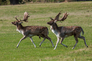fallow stags weighing each other up