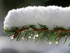 Light Catchers (whitesepulchre) Tags: schnee winter snow cold nature sparkles canon drops melting ast branch nieve natur evergreen sparkly kalt tropfen rheinlandpfalz westerwald rhinelandpalatinate schmelzen sx50 canonpowershotsx50
