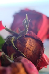 Fuji x-m1 new macro rose (Jasrmcf) Tags: flowers flower macro rose vintage 50mm fuji dof bokeh fujifilm x10 xm1 extentiontube bokehlicious xfujinon fujix10fuji