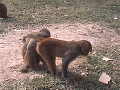 Rhesus Macaques in Kathmandu 2