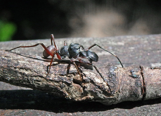 Ant-Mimicking Jumping Spider
