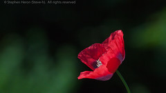Singular beauty (Steve-h) Tags: ireland red dublin flower green nature purple blossom solo poppy