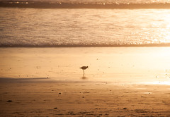 Venice Beach, CA (ChrisGoldNY) Tags: california venice bird beach birds book losangeles forsale santamonica albumcover bookcover bookcovers albumcovers licensing covers chrisgoldny chrisgoldberg chrisgold chrisgoldphoto chrisgoldphotos