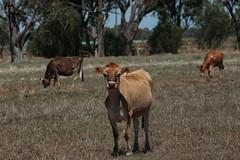 Hello (crafty1tutu (Ann)) Tags: animal cow country australia victoria animalsinthewild anncameron naturethroughthelens canon5dmkiii gettycontributor crafty1tutu favegallery canon28300lserieslens