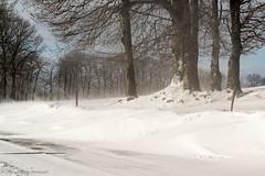 Frnes et htres dans la tourmente (jeanpierre Pericaud) Tags: france nature vent nikon hiver neige auvergne salers cantal