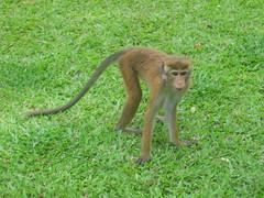Toque Macaque Kandy Sri Lanka