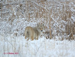 February 21, 2015 - A coyote forages in the snow at Cherry Creek State Park. (Ed Dalton)