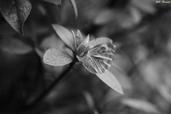 _52R1359 (Dream Deliver) Tags: blackandwhite bw butterfly artdream monophotography